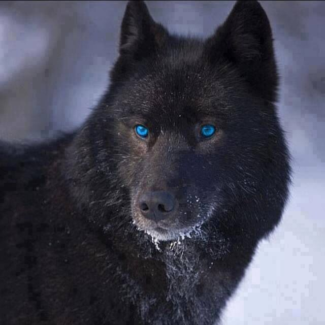 17 Best images about wolfs on Pinterest | Wolves ...