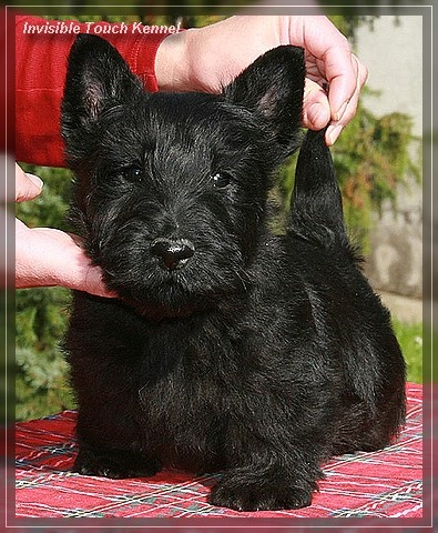 very cute puppy. i will have a little dog like this, and he will wear a red collar, and he will be named scottie. and no one can stop me!
