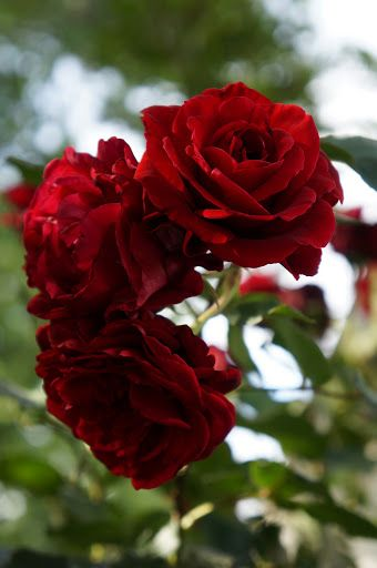 Don Juan Climbing Rose.Fertilize roses with coffee grounds for big, beautiful blooms like these.