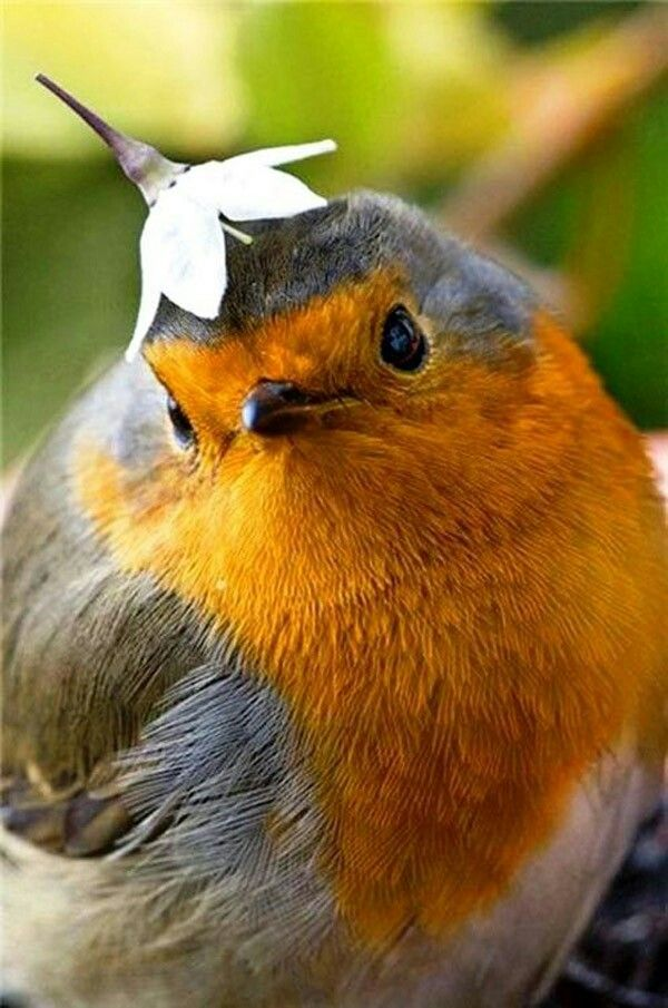 The Robin.. Just been voted Britain's Favourite Bird, Gorgeous ....❤
