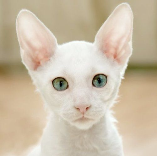 Cornish Rex Cat Temperament Personality and Grooming Click to read