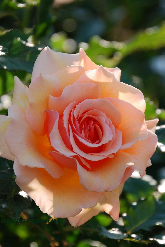 'Fragrant Apricot' | Floribunda Rose. Dr. Keith W. Zary (United States, 1998) | Flickr - © azucargeminis