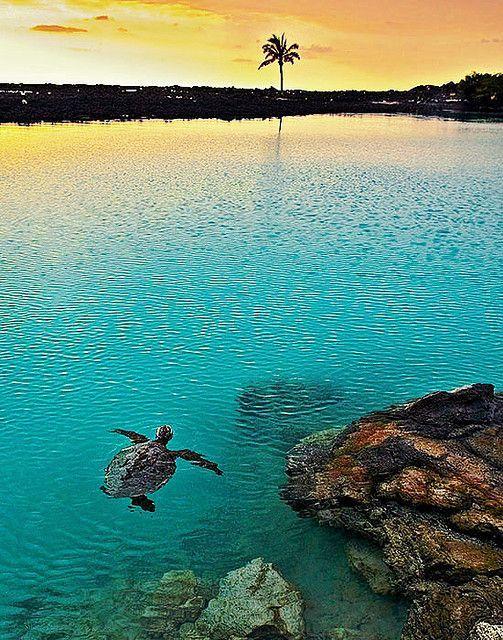 Turtle swimming at sunset,  Pu'u Wa'awa'a Ahupua'a, Kailua Kona, Hawaii. #turtle #sunset #Hawaii: