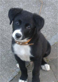 """Borador"" Puppy! Border Collie + Lab :) Perfect."