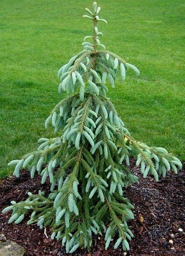 Picea engelmannii 'Bushs Lace' A weeping variety of Engelmann Spruce. Leaves long, bluish-gray. Main leader with all terminal branches cascading down. Can take some shade.