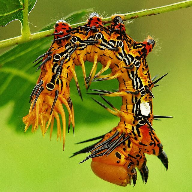 Stunning Notodontid Moth Caterpillar (Notodontidae) Beijing, China by  John Horstman