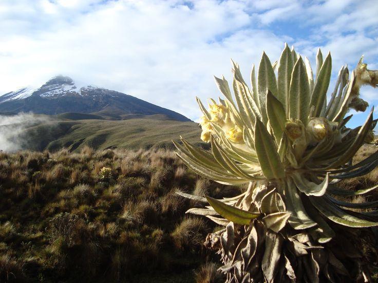 Frailejones - the quintessential páramo plant