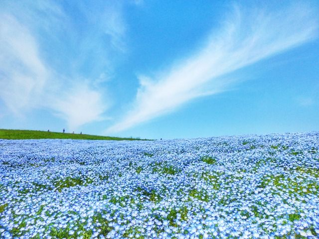 Share from UPLO: Nemophiland by ©Stone River #flower #macro #blue #nemophila #nature #landscape #japan