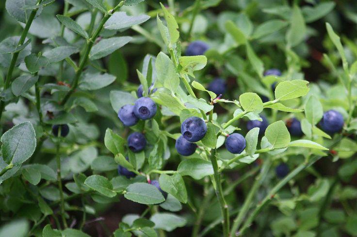 Ericaceae: Vaccinium myrtillus