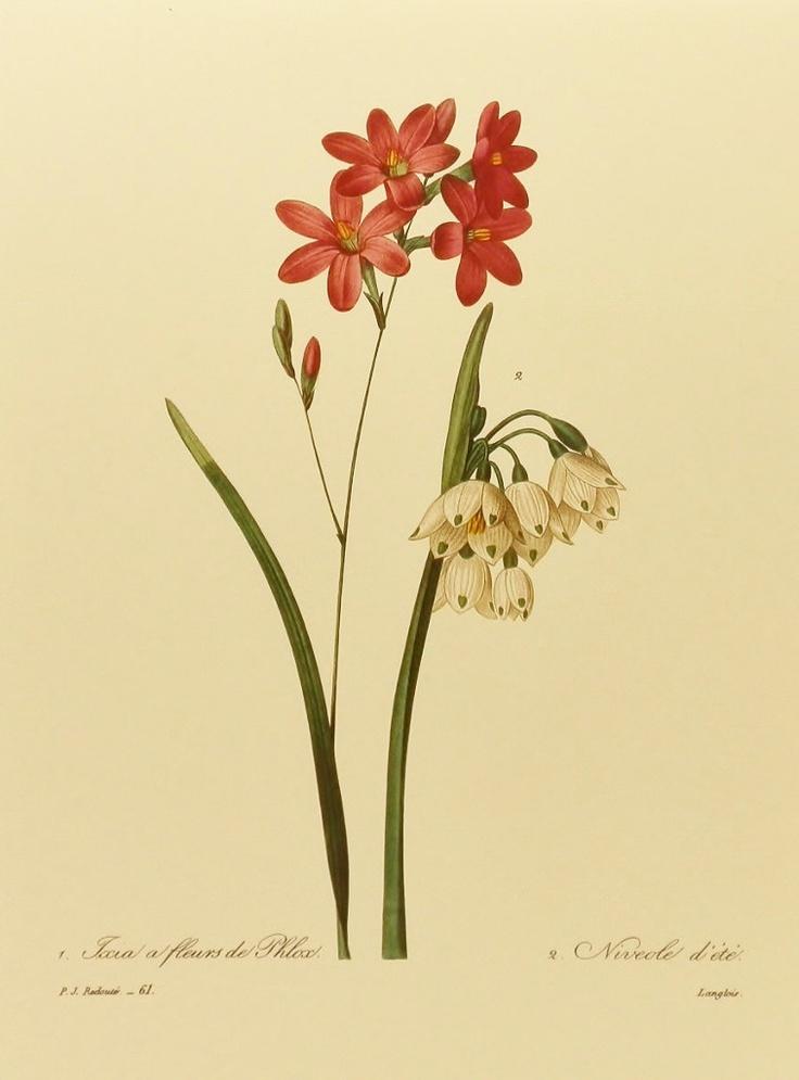 Vintage Flower Print, Snowbells & Phlox Redoute Botanical Illustration (For You To Frame) 9 x 12 Book Plate No. 61. $5.00, via Etsy.