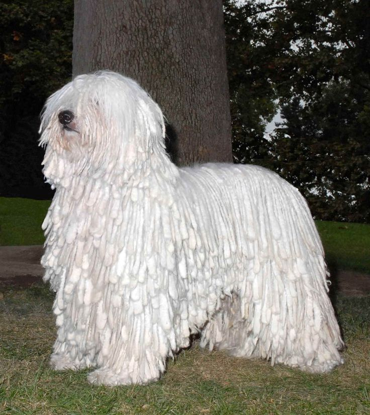 koomoodor dog | dog near the tree photo and wallpaper. Beautiful White Komondor dog ...