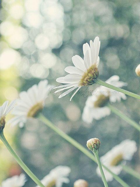 {148/365} by Valentina Mantovani, via Flickr -- Bokeh - Daisies - Photography