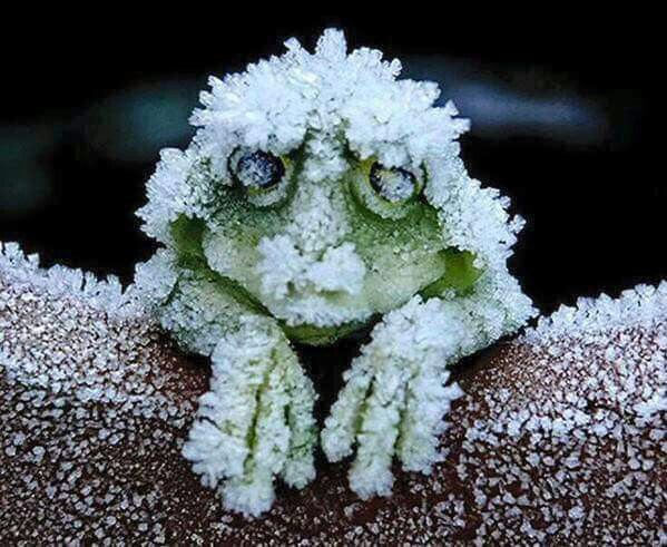 The Alaskan Tree Frog freezes solid in the winter, even stopping its heart beating. In Spring, it thaws and simply hops away.