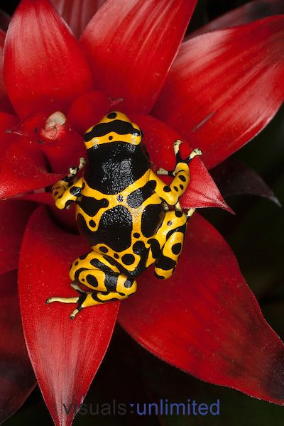 Yellow-banded Poison Frog (Dendrobates leucomelas), Venezuela. ...........click here to find out more http://googydog.com