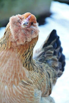 Chickens make me happy: Ameraucana Chicken, Americauna Chicken, Chicken Faces, Happy Chicken, Chicken Coops, American, Chickens, Ameracauna Chicken, Chicken Crack