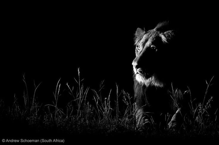 BBC Wildlife Awards 2013 - NATURE IN BLACK AND WHITE - RUNNER-UP: 'Shot in the dark' by Andrew Schoeman