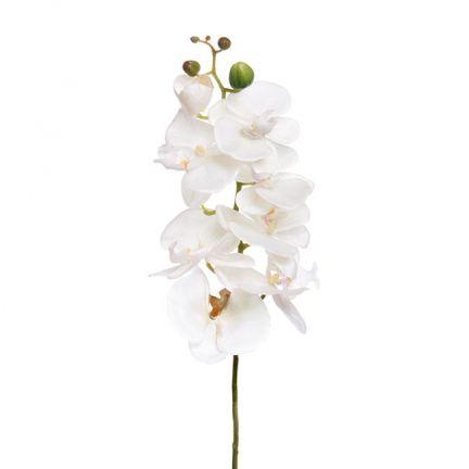 Orchid Phalenopsis 9Flw (75cmST)  Cream