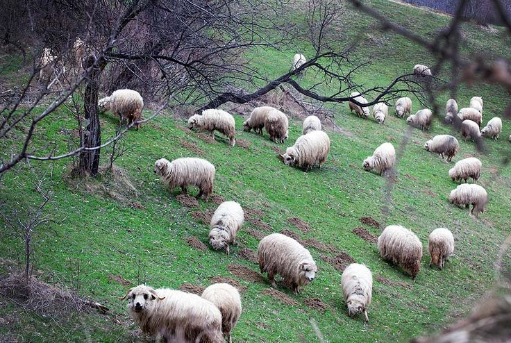 Muntenia - Carpati - Romania  Miorita