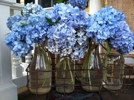 Summer blue hydrangeas in antique milk bottles