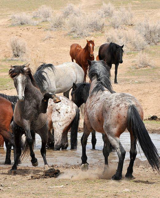 Stallions, horse, heste, wild, mustang, animal, beauty, beautiful, gorgeous, photograph, photo