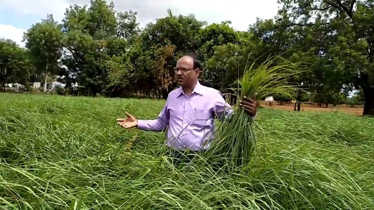 Have a look at the cultivation and distillation process of aromatic grass – Palmaroja through this video..