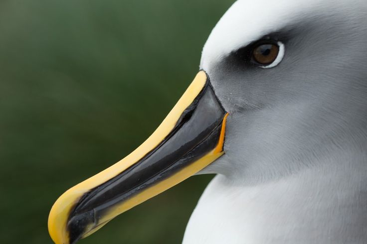 VIDEO. A Te Papa team visited the island to study Buller's albatrosses, attaching devices to record the birds' flight details and proximity to boats.