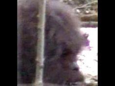 Bigfoot Evidence: New Footage: This Bigfoot Sighting From Washington Looks Legit