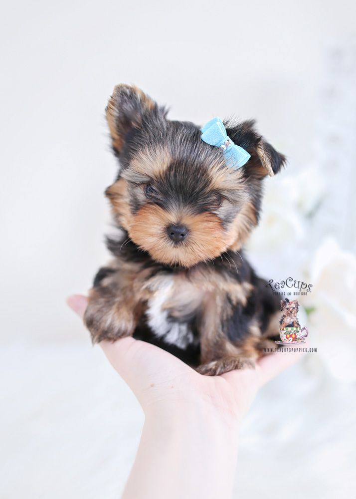 Tiny Yorkie Puppy For Sale Teacup Puppies Yorkie Puppy Puppies
