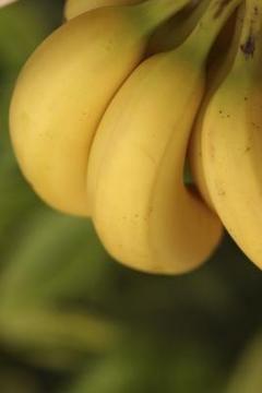 How to make indoor banana trees grow fruit