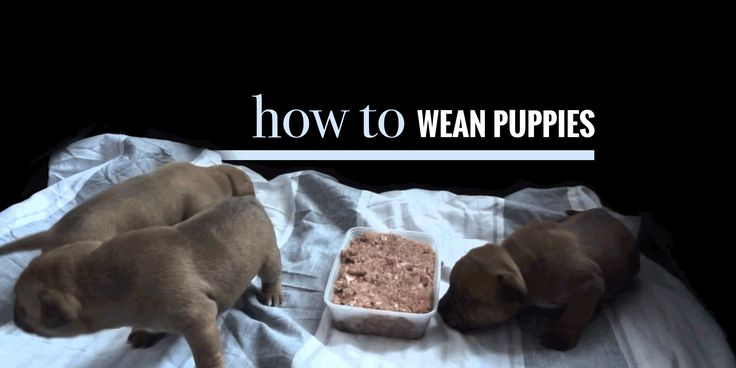 When Do Puppies Begin Eating Solid Food