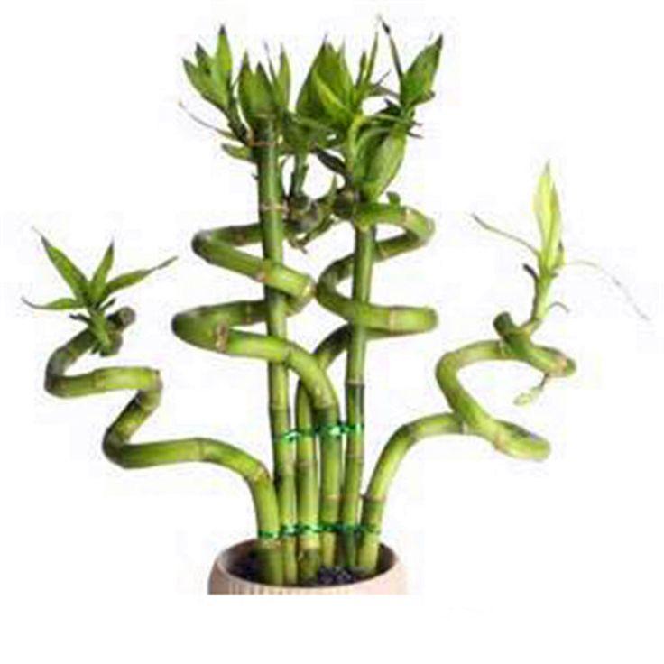Продажи! Lucky Bamboo Семена Маленькие Горшечные Растения Очищают Драцена, Посадка Простой для Дома и Сада, 100 семена/Мешок, # YKLYOT