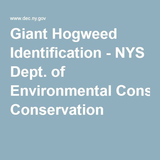 Giant Hogweed Identification Nys Dept Of Environmental Conservation