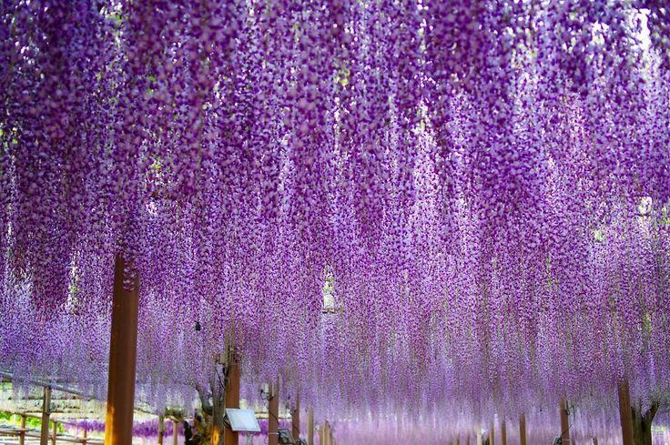 "160 Likes, 8 Comments - kimoto (@kimotocat) on Instagram: ""この日は藤を梯子花見。曼陀羅寺公園の藤は種類も多く、一本の木もかなり広がっています。#日本の寺院 #藤の花 #美しい日本の風景 #PENTAX #tripgramjp"""
