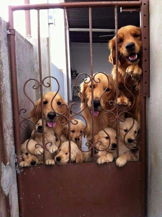 Golden Retrievers Family