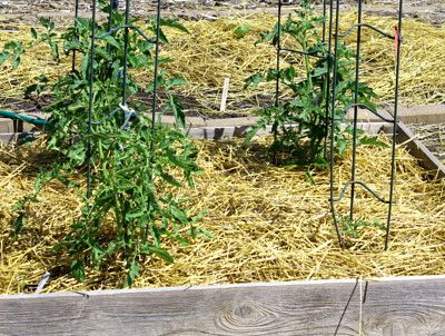 gardening with straw- cheaper, less weeding, less watering