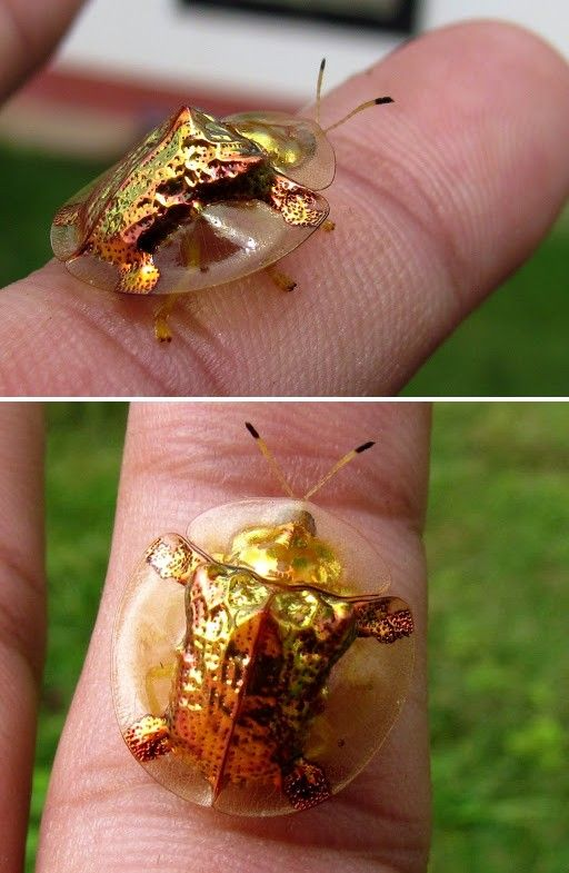 Besouro tartaruga dourada (Aspidimorpha sanctaecrucis).