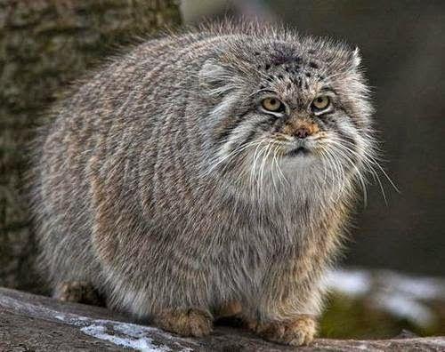 Pallas' Cats Animals | Interesting Facts