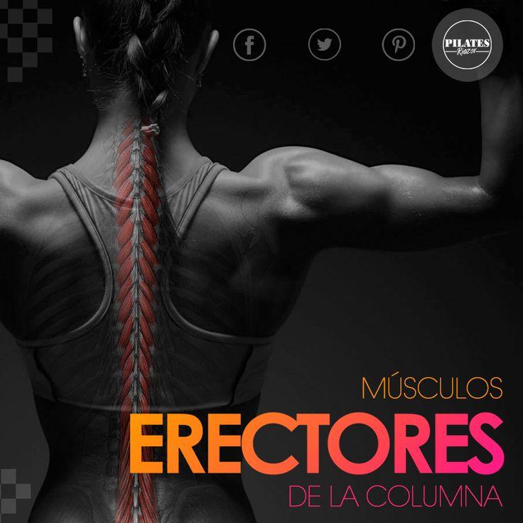Músculos erectores de la columna:   Nuestro cuerpo posee un gran número de músculos, ligamentos y fascias que se encuentran distribuidas a lo largo del dorso del tronco que se encargan de erguir nuestra columna vertebral, además de facilitar el movimiento en todas las direcciones.  Se encuentran en la cara posterior del tronco, a los lados de la columna vertebral, desde la pelvis hasta el cráneo, está subdivido por tres músculos: Espinos Longuísimo y Ilio-costal.