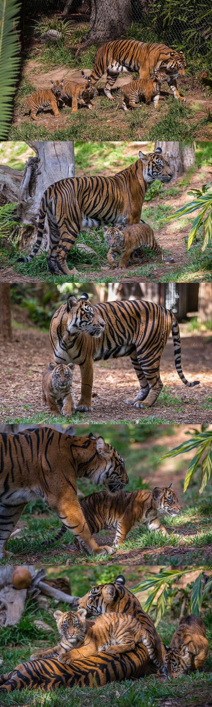Adult female Sumatran tiger Joanne and her three 3-month-old cubs—Nelson, Cathy and Debbie—pounced onto exhibit recently. This is the first litter of cubs that Joanne has raised, and they will be on exhibit at Tiger Trail every day from 9 a.m. to 1 p.m.