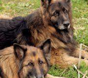 Togo et Taiga  seraient heureux de finir leurs jours choyés  ... ils ne peuvent pas être séparés ;  ils ont toujours vécus ensemble  ...