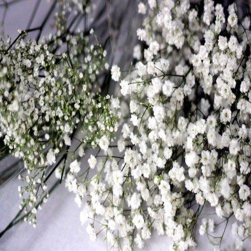 Babys Breath Flower Seeds (Gypsophila Elegans) 200+Seeds