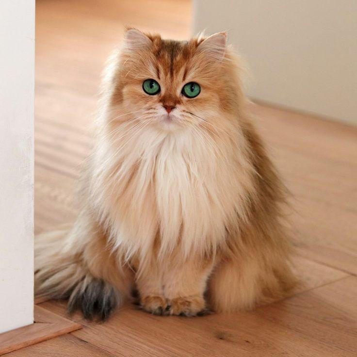 Golden British Longhair Cat Cute Cats Kittens Cutest Pretty Cats