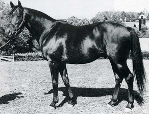 Ambiorix(1946)(Colt)Tourbillon- Lavendula By Pharos. 4(C)x5(C) To Omnium II, 4(F)x5(F) To Canterbury Pilgrim, 5x5 To St Simon. 7 Starts 4 Wins 2 Seconds. Won Grand Criterium(Fr), Selsey S(Eng), Prix Lupin(Fr), Prix Greffulhe (Fr). Top Miler As A 2 YO.