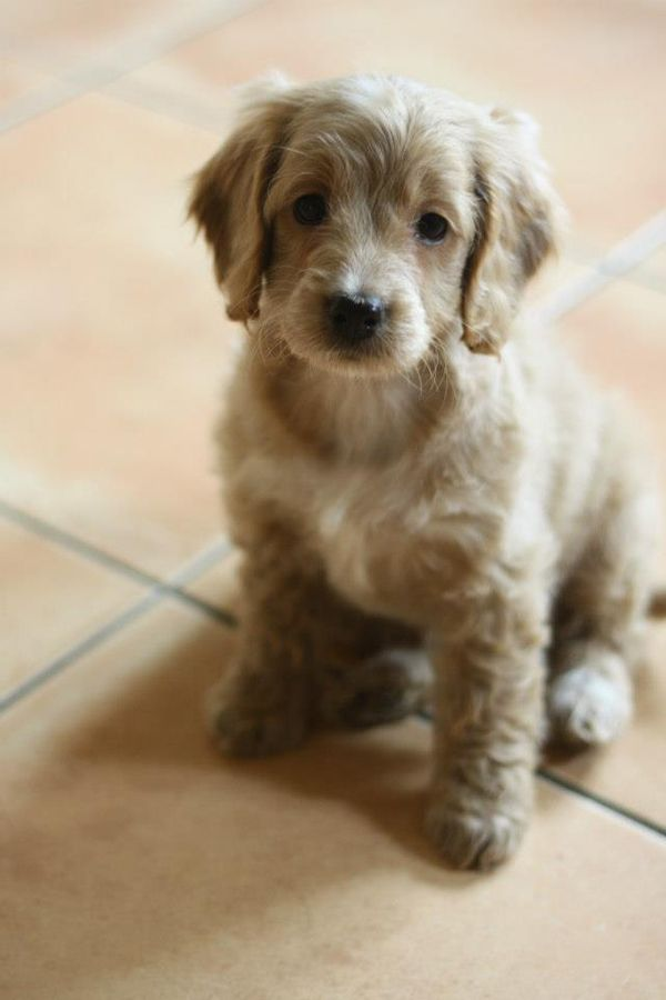 Best 25 Cockapoo Rescue Ideas On Pinterest Cavoodle Rescue