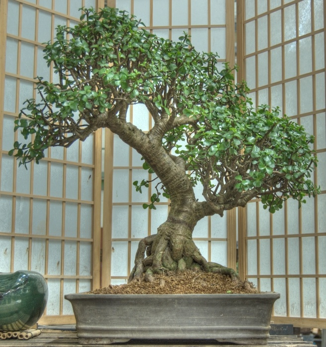 guide for the Jade Bonsai