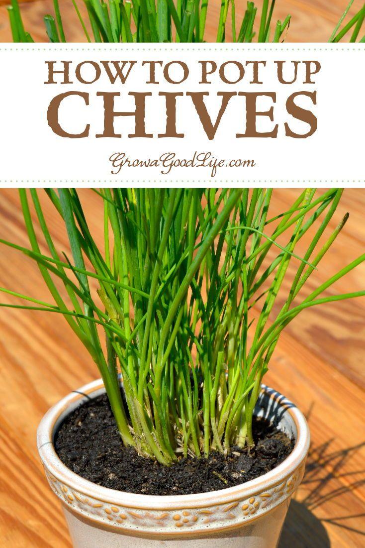 Grow Herbs Indoors Potting Up Chives Herbs Indoors Growing Winter Vegetables Indoor Garden
