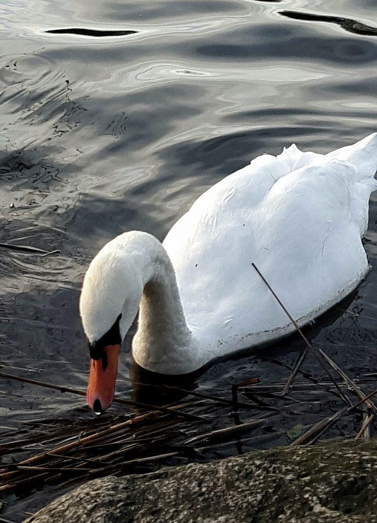 swan, joutsen, jouluaattona, omassa rannassa