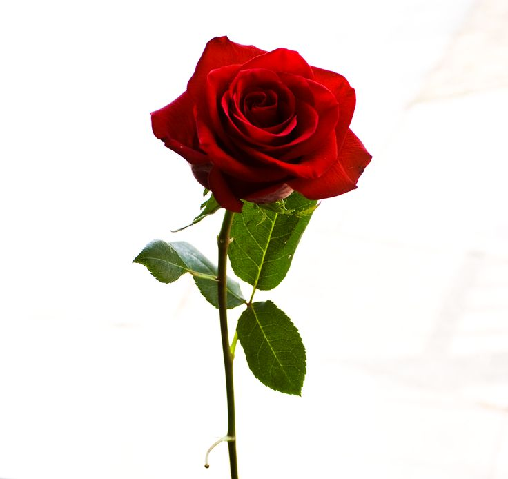 Google Image Result for http://mobimalt.com/mobile_wall/Rose_Stock_by_BreAnn.pngChristian Symbols, Google Search, Belle Rose, Red Rose, Lutheran Church, Ctrf Rose, Liquid Rose, Flower, Bleeding Rose