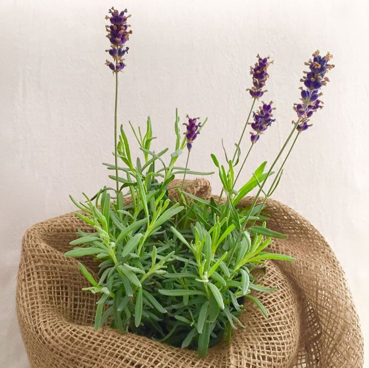Pot of Lavender Wrapped Hessian
