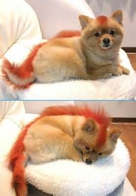 this is the only acceptable haircut for a pomeranian-  Hehehe. :) I even told Marc when we got Foster's hair cut the first time, I was going to request a Mohawk. :D